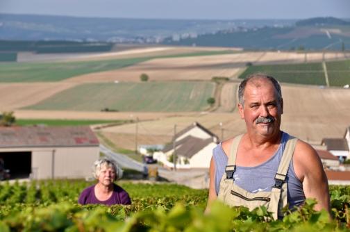cote-des-blancs-harvesting